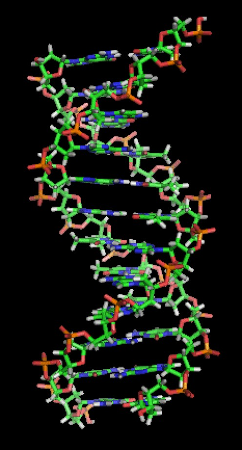 A section of DNA. The bases lie horizontally between the two spiraling strands. Image from Wikipedia