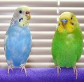 Feeding Your Parakeet or Finch -- Lessons Learned About a Healthy Diet and Hartz Seed Review