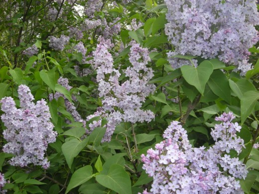 Can You Smell The Lilacs?