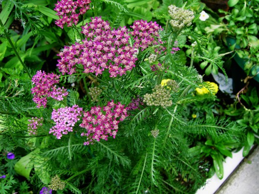 cultivated yarrow has purplish tones in the flower heads.Photograph by D.A.L.