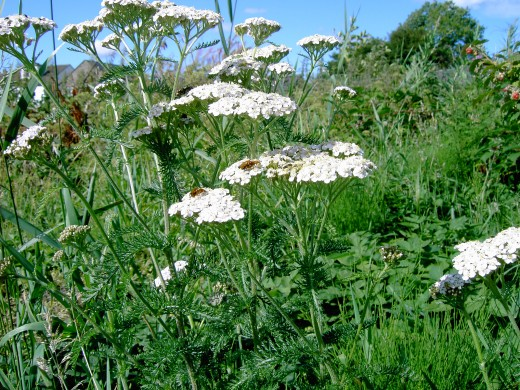 Wild yarrow has white flowers. Photograph by D.A.L.
