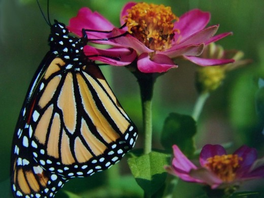 peaceful monarch