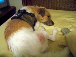 Jack Russell Terrier and flea allergy pictures