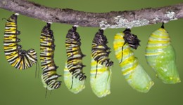 caterpillar's life stage changing into a chrysalis (pupa stage)