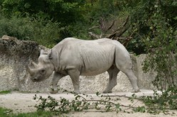 7 Amazing Facts about the Black Rhinoceros