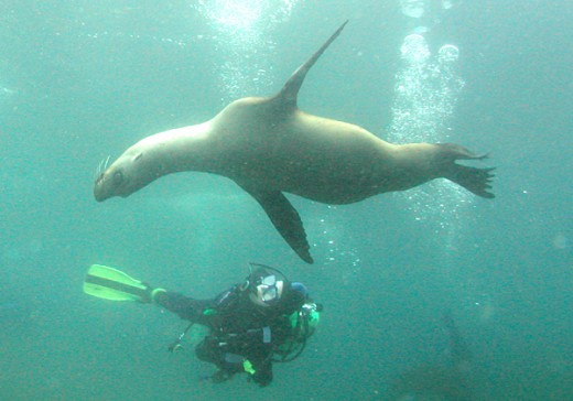 Diver and juvenile Sea Lions, Anacapa Island, Channel Islands, California. Image taken by Clark Anderson/Aquaimages
