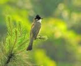 vietnam songbird