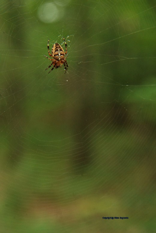An orb weaver spider, cross spider,Araneus diadematus, dines in its web in the woods. A really good Web site of pictures of many Michigan spiders can be found at http://kozmicdreams.com/spidersorb.htm