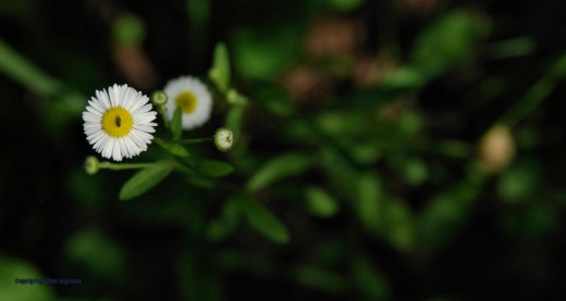 Daisy fleabane is in bloom throughout the edges of the woods.
