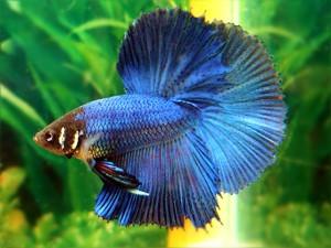 Striking Blue Halfmoon Betta with dark blue outer fin