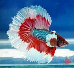 Red fin with white tip Halffmoon betta