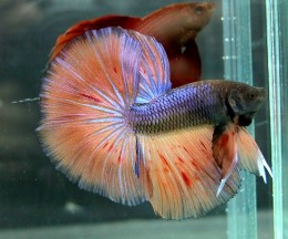 Orange fin Halfmoon Betta