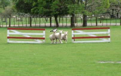 Run, sheepy, run (just kidding)