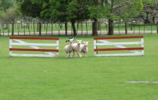Run, sheepy, run (just kidding)