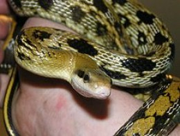 beauty rat snake