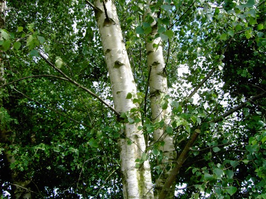 The beautiful bark of the silver birch. Photograph by D.A.L.