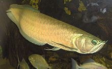 arowana or dragon fish
