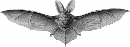 This illustration of the brown long eared bat, shows the many teeth that are harmless to humans but deal with insects efficiently.