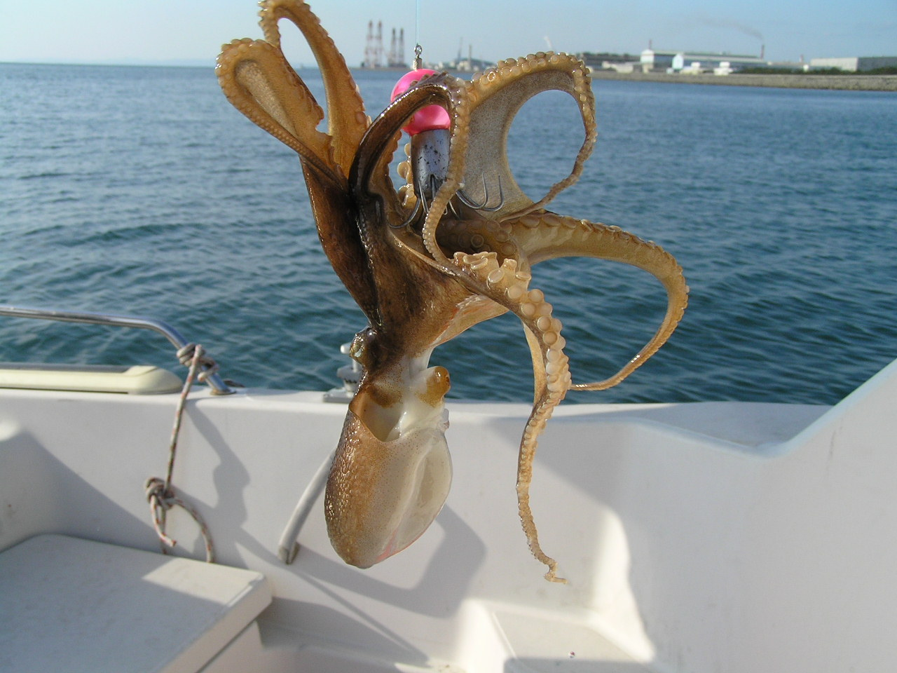 Caribbean Reef Octopus | hubpages