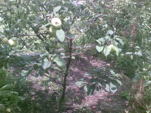 A Little Apple Tree