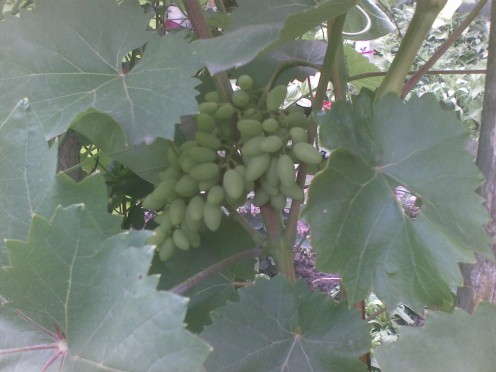 Grape-bearing vinesmake wonderful additions to your landscaping