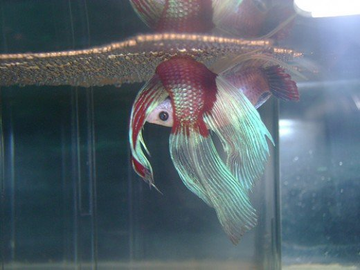 simple tips on how to breed betta fish hubpages
