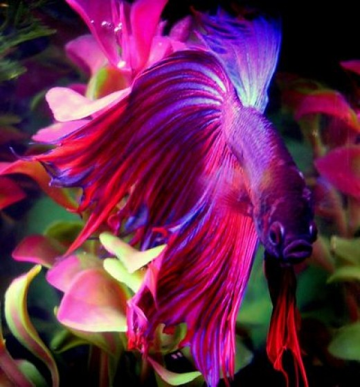 betta fish breeding techniques Pick up betta fish to breed of course, you will need a female and male betta in order to start the breeding process for the male betta, prioritize to choose the beautiful long fins while the female ought to be healthy and strong.