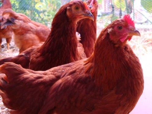 Red hens