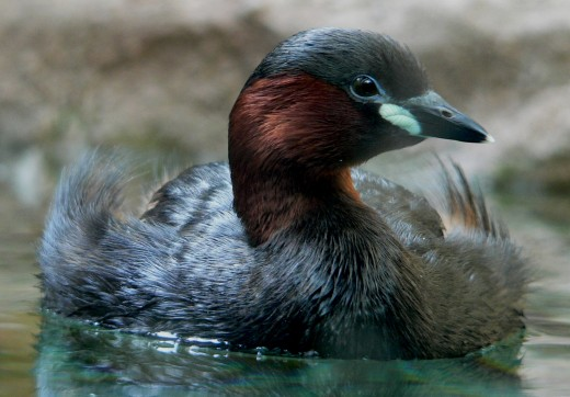 The dabchick is a rotund bird. Photograph courtesy of B.S. Thurner Hof