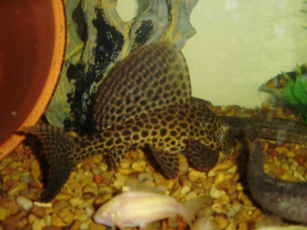 How to breed plecostomus hubpages for Pleco fish food