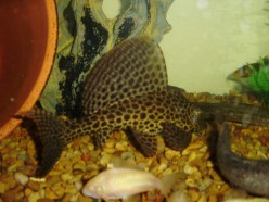 How To Breed Plecostomus