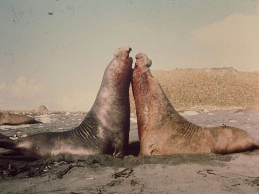 To bull Elephant Seals that have fought themselves to a standstill.  To the victor goes the spoils - a harem of up to forty females