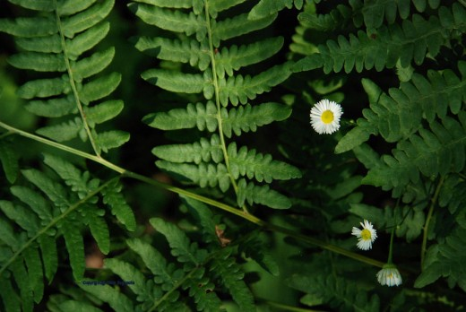 Fleabane daise grow amidst ferns.