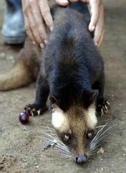 Asian Palm Civet (Paradoxurus hermaphroditus).Picture: RidwanAZ.com