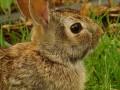 Feral Animals of Australia: Rabbits