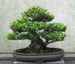 Introducing the Ancient Art of Bonsai.