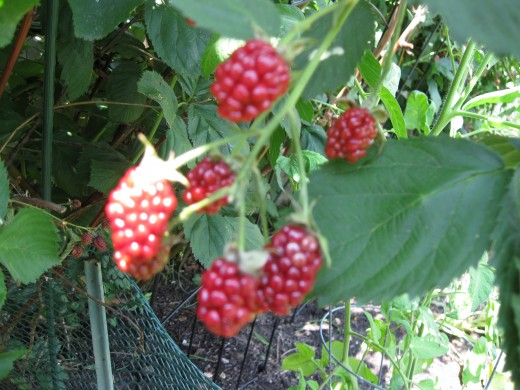 Blackberry bushes are easy to grow because they are hearty.