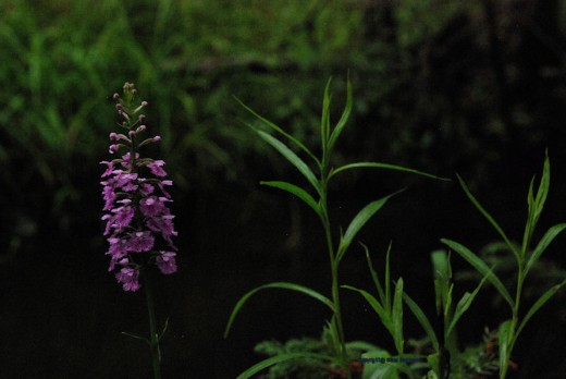 Another specimen of purple fringed orchid near the creek.