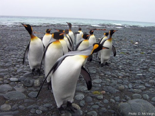 King Penguins, the second largest in the world after Antarctica's Emperors.