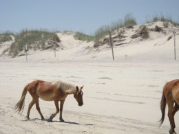 Wild Spanish horses of Corolla, NC of the Outer Banks