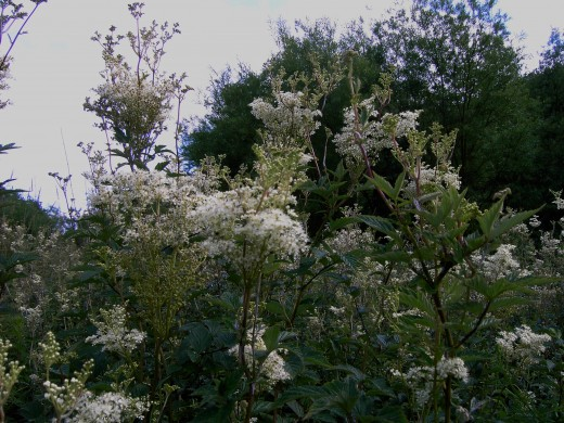 The fragrant flowers of the meadowsweet. Photograph by D.A.L.