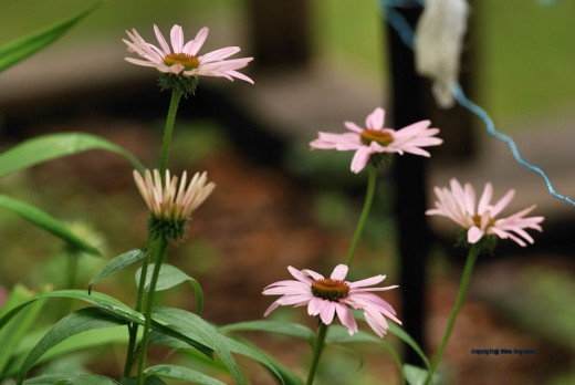 Coneflowers are starting to bloom. The string is try to deter deer from dining on them.