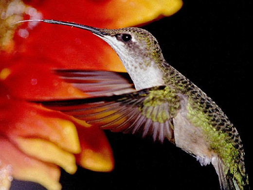 Hummingbird extracting nectar from a flower