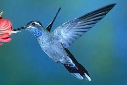 Rare blue hummingbirds