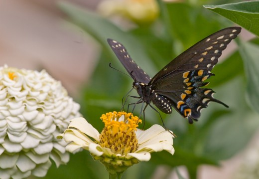 Black Swallowtail Butterfly - shot with Sigma 105mm macro lens and Canon EOS 30D digital SLR