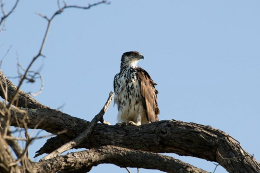 African Eagle - An eagle is one of the most intelligent birds. Image Credit: Chris Eason, Wikipedia