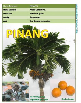 The Areca Palm tree (Pokok Pinang)