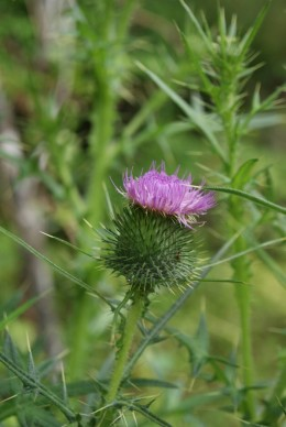 Thistle's toxic principle is unknown, but if eaten can cause death.
