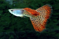 How to Breed and Raise Fancy Guppies