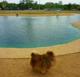 Skippy wants no part of playing in the water at the dog park!